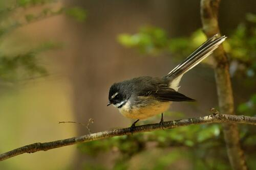 fantail-bird-perched-on-branch