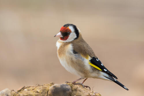 goldfinch-perched-on-log-edge