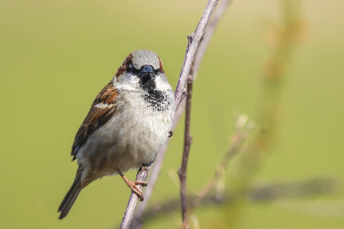 house-sparrow-perched-on-thin-branch
