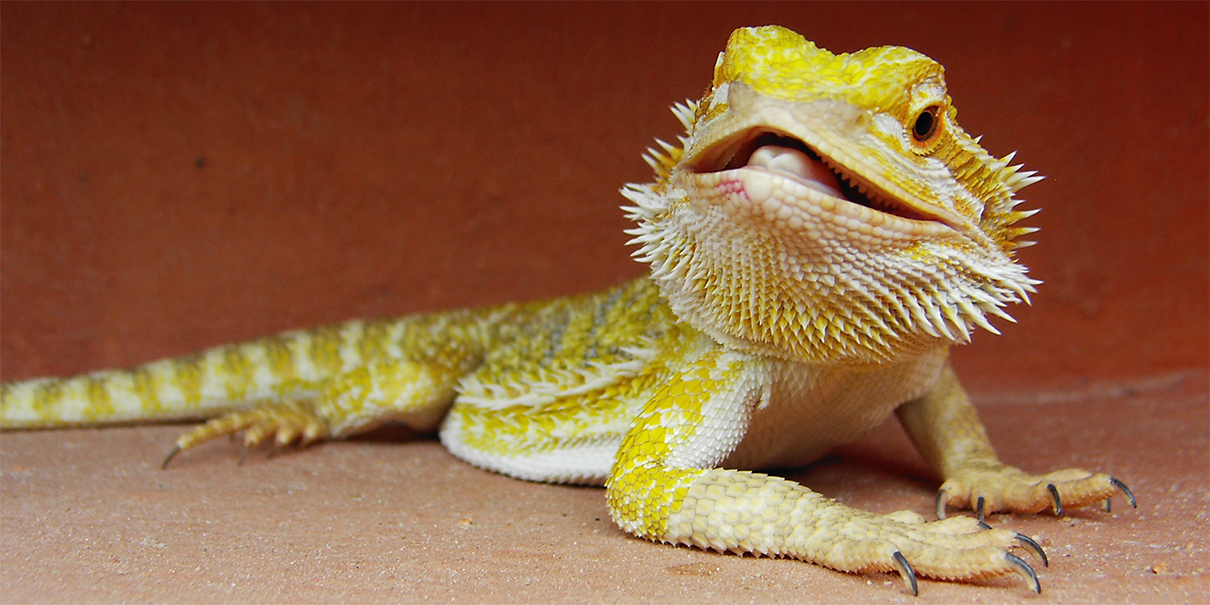 Here S Why Reptiles Make Great Pets